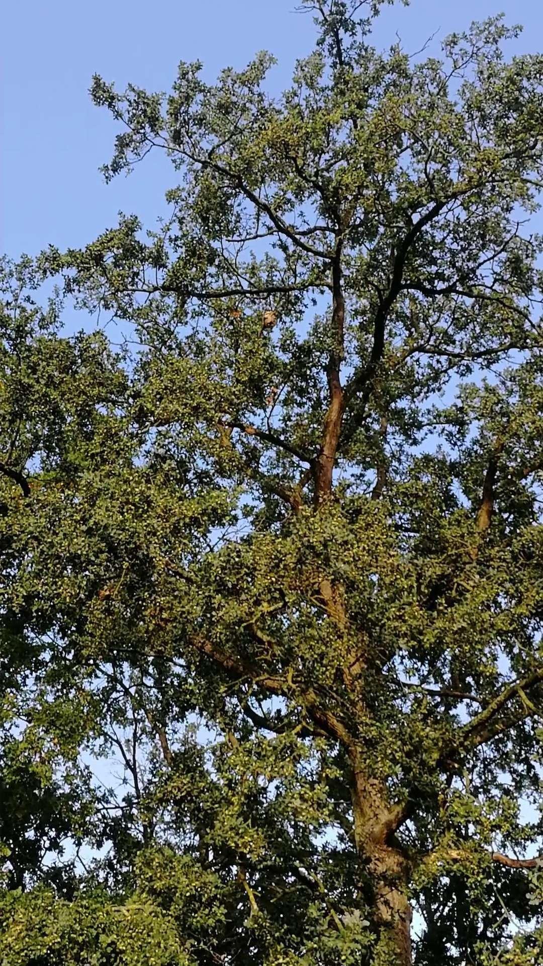 Un beau nid de frelons pour voisins